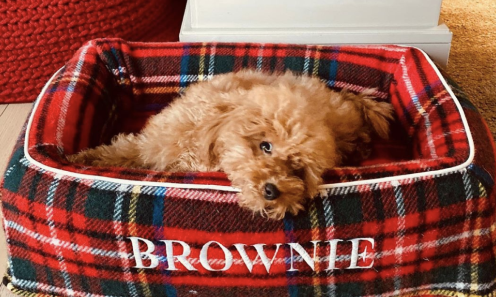 alessia marcuzzi cane barboncino brownie